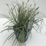 "Zegge (Carex oshimensis ""Everest"") siergras"