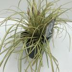 "Zegge (Carex oshimensis ""Evergold"") siergras"