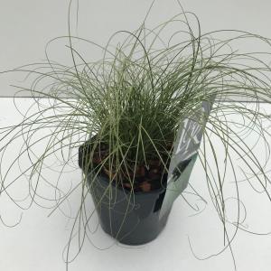 """Zegge (Carex comans """"Frosted Curls"""") siergras"""