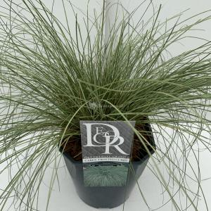 "Zegge (Carex comans ""Frosted Curls"") siergras - In 5 liter pot - 1 stuks"