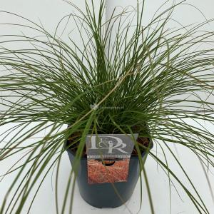 Zegge (Carex testacea Prairie Fire) siergras - In 5 liter pot - 1 stuks