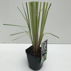 "Pampasgras (Cortaderia selloana ""Pumila"") siergras"
