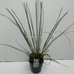 Pampasgras (Cortaderia selloana Pumila) siergras - In 5 liter pot - 1 stuks
