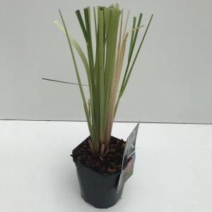 """Pampasgras (Cortaderia selloana """"Rosea"""") siergras"""