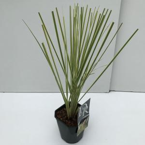 "Dwergpampasgras (Cortaderia selloana ""Mini Gold Pampas"") - In 2 liter pot - 1 stuks"