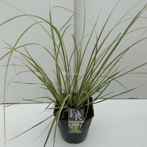 Dwergpampasgras (Cortaderia selloana Mini Gold Pampas) - In 5 liter pot - 1 stuks