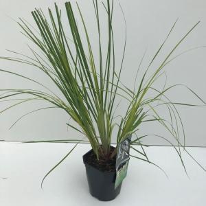 "Dwergpampasgras (Cortaderia selloana ""Mini Pampas"") siergras"