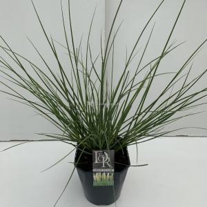 Dwergpampasgras (Cortaderia selloana Mini Pampas) siergras - In 5 liter pot - 1 stuks