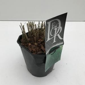 """Prachtriet (Miscanthus sinensis """"Gracillimus"""") siergras"""
