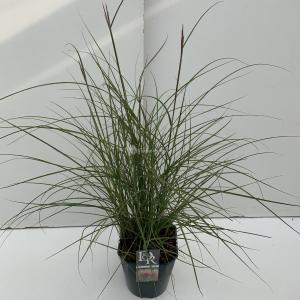 Korting Prachtriet (Miscanthus sinensis Red Chief ) siergras In 5 liter pot 1 stuks