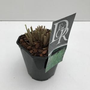 """Prachtriet (Miscanthus sinensis """"Strictus"""") siergras - In 2 liter pot - 1 stuks"""