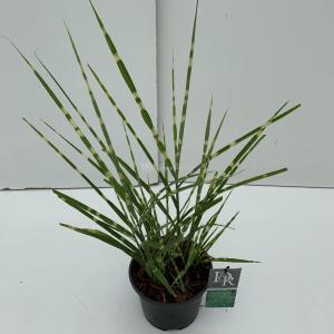 Prachtriet (Miscanthus sinensis Strictus) siergras - In 3 liter pot - 1 stuks