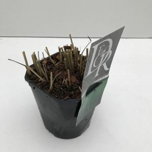 "Vingergras (Panicum virgatum ""Prairie Sky"") siergras"