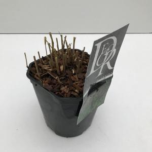 Vingergras (Panicum virgatum Squaw) siergras - In 2 liter pot - 1 stuks