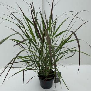"""Vingergras (Panicum virgatum """"Squaw"""") siergras - In 3 liter pot - 1 stuks"""