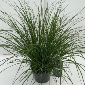 "Lampenpoetsersgras (Pennisetum alopecuroides ""Hameln"") siergras - In 3 liter pot - 1 stuks"