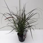 """Lampenpoetsersgras (Pennisetum advena """"Rubrum"""") siergras"""
