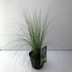"Vedergras (Stipa tenuifolia ""Ponytails"") siergras"
