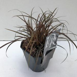 "Rode zegge (Uncinia uncinata ""Rubra"") siergras"