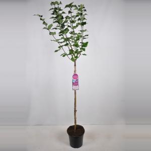 "Sering op stam 85 cm (syringa vulgaris hyacinthflora ""Esther Staley"")"