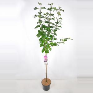 "Sering op stam 85 cm (syringa vulgaris ""Michel Buchner"")"