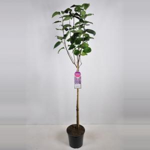 "Sering op stam 85 cm (syringa vulgaris ""Sensation"")"