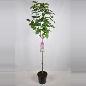 Dagaanbieding - Sering op stam 85 cm (syringa vulgaris