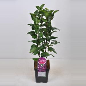 "Sering (syringa vulgaris ""Charles Joly"")"