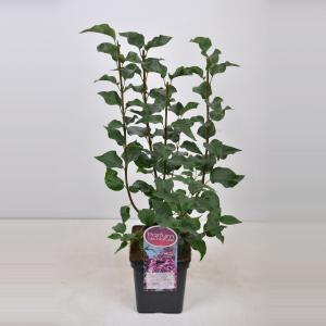 "Sering (syringa vulgaris hyacinthflora ""Esther Staley"")"