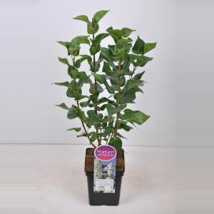 "Sering (syringa vulgaris ""Mme Lemoine"")"