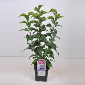 """Sering (syringa vulgaris """"Nadezhda"""")"""