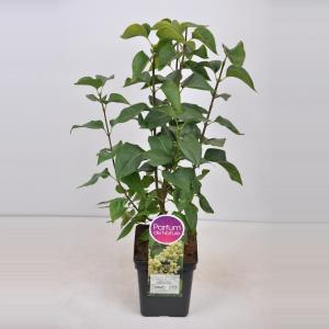 "Sering (syringa vulgaris ""Primrose"")"