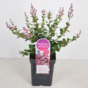 """Dwergsering (syringa Bloomerang®""""Pink Perfume"""")"""