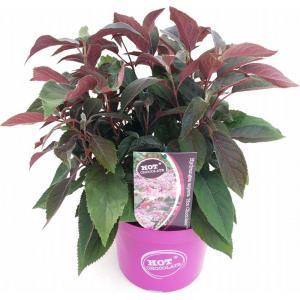 """Hydrangea Aspera """"Hot Chocolate""""® fluweelhortensia"""