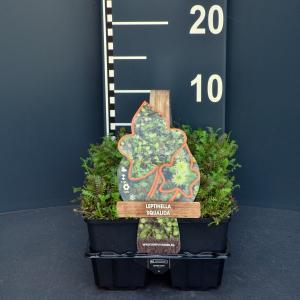 Koperknoopje (leptinella squalida) bodembedekker - 6-pack - 1 stuks