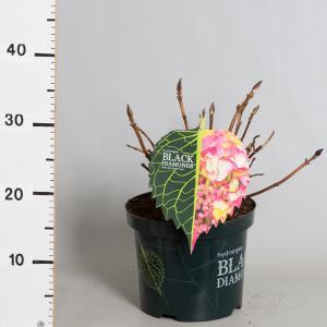 """Hydrangea Macrophylla """"Black Diamond® Dark Angel""""® schermhortensia"""