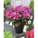 "Hydrangea Macrophylla ""Black Diamond® Dark Angel Purple""® schermhortensia"
