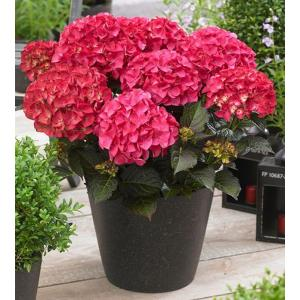 Hydrangea Macrophylla Black Diamond® Red Angel® boerenhortensia - 25-30 cm - 1 stuks