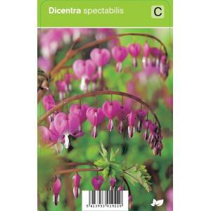 Gebroken hartje (dicentra spectabilis) voorjaarsbloeier