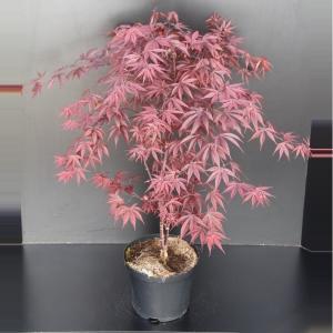 """Japanse esdoorn (Acer palmatum """"Fireglow"""") heester"""