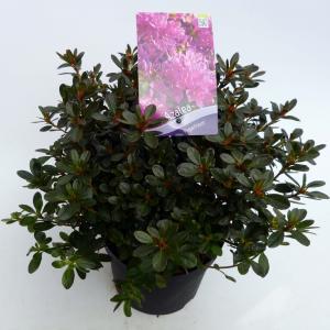 Rododendron (Rhododendron Japonica Purpurtraum) heester - 30-35 cm - 1 stuks