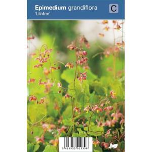 "Elfenbloem (epimedium grandiflora ""Lilafee"") schaduwplant"