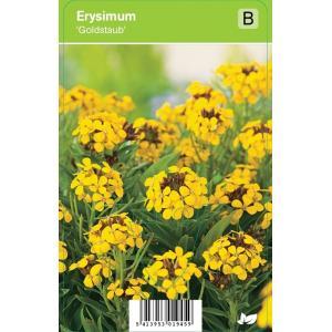 """Muurbloem (erysimum """"Goldstaub"""") voorjaarsbloeier"""