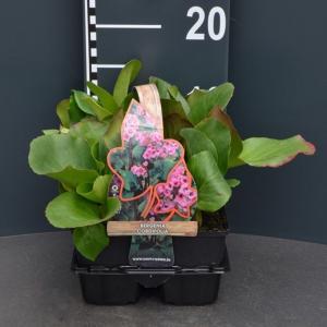 Schoenlappersplant (bergenia cordifolia) bodembedekker
