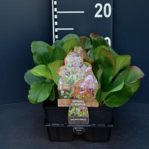Schoenlappersplant (bergenia cordifolia) bodembedekker 6-pack 2 stuks