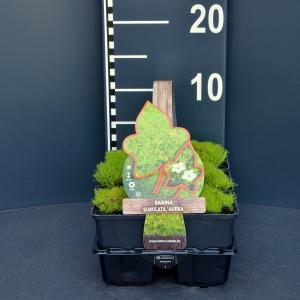 """Vetmuur (sagina subulata """"Aurea"""") bodembedekker - 6-pack - 1 stuks"""
