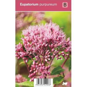 Leverkruid (eupatorium purpureum) najaarsbloeier
