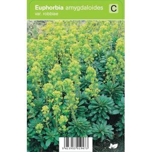 Wolfsmelk (euphorbia amygdaloides Var. Robbiae) voorjaarsbloeier - 12 stuks
