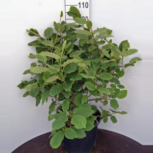 Magnolia struik Sieboldii - 60 - 80 cm - 1 stuks