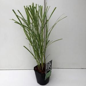 """Prachtriet (Miscanthus sinensis """"Variegatus"""") siergras"""